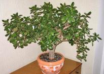 Денежное дерево: особенности ухода