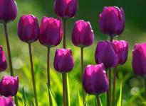 Тюльпан: как вырастить в наших садах
