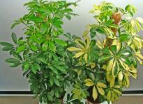 Шефлера: особенности ухода за зонтичным деревом