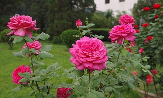Уход за кустовой розой в саду