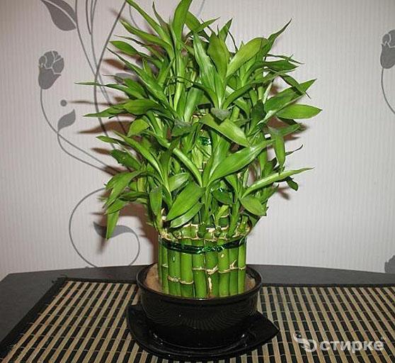 Бамбук: тонкости ухода и разведения в домашних условиях