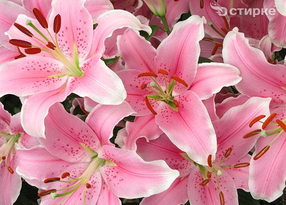 Лилия: как вырастить изящный цветок на дачном участке