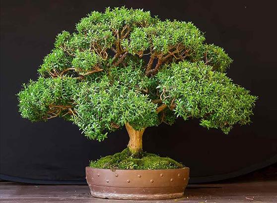 Миртовое дерево: как вырастить гармоничную культуру